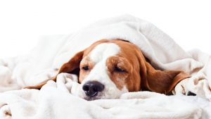 Very \sick dog under a blanket, isolated on  white