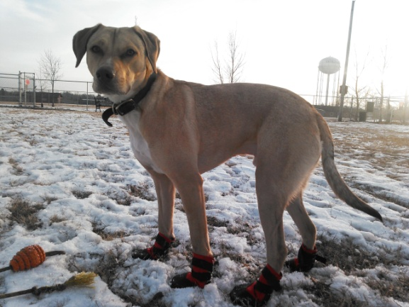 Dog with a Job – Kota Gets a New Pair of Shoes!